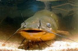 Unclean fish